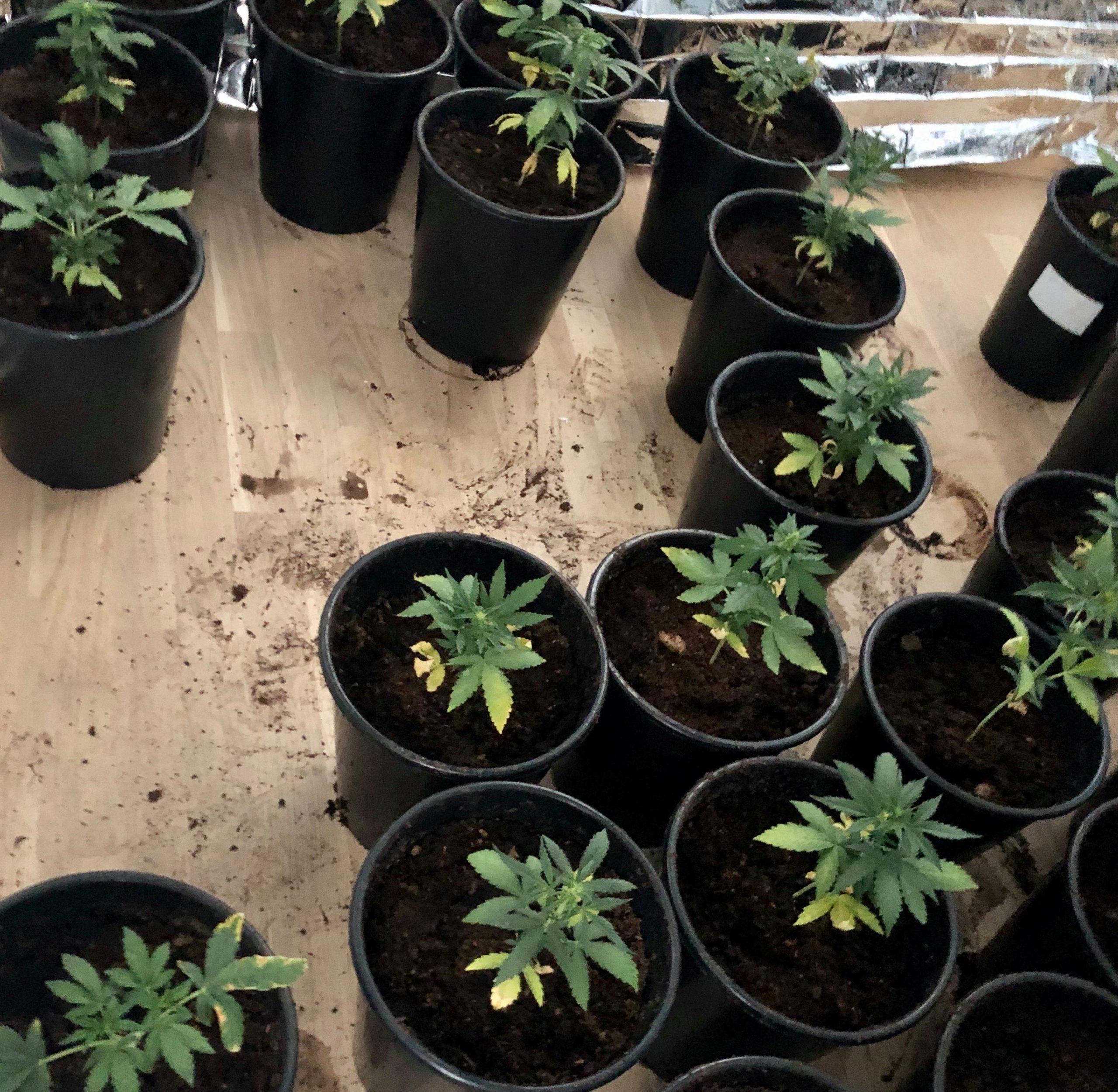 De odlar hasch i lägenheten på vår tomt